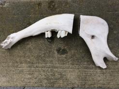 Cut Cow Jaw Bone